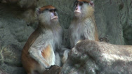 Stock Video Footage of couple of monkeys who care and give their attention