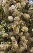Wild clematis seedheads Stock Photos
