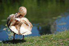 Stock Photo of duck