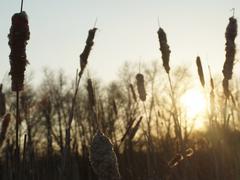 Stock Photo of reed, sunset