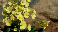 Yellow primroses Stock Footage