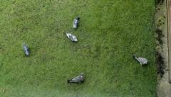 Pigeons seeking their food in the green grass - the view through the window Stock Footage