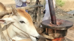 Cow rotating a primitive mill Stock Footage