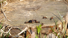 Ants and cockchafer Stock Footage