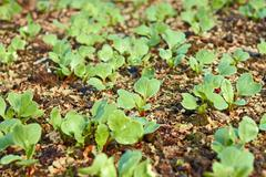 Stock Photo of young green radish plants