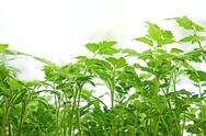Stock Photo of young green tomatoes plants