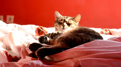 Cat lying in bed at home Stock Footage