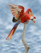 Scarlet Macaw on perch - stock photo