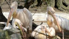 Great white pelican - Pelecanus onocrotalus. Stock Footage
