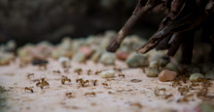 Honey ants drinking liquid 4k Stock Footage