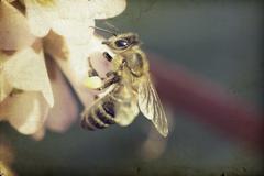 Vintage photo of honeybee Stock Photos