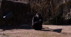 Gorilla sitting and looking around at zoo 4k Stock Footage