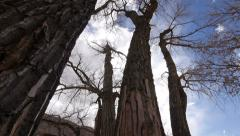 Cottonwood Trees in the American Southwest on the Colordao Plateau - stock footage
