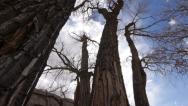 Stock Video Footage of Cottonwood Trees in the American Southwest on the Colordao Plateau