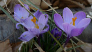 Stock Video Footage of Purple crocus