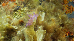 Underwater footage anemone flabell 6 corsica corse mediterranean Stock Footage