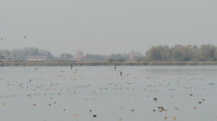 Wild geese landing on the lake at Havelland (Germany) Stock Footage