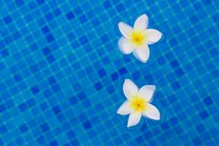 Two  frangipani flowers on blue Stock Photos