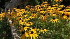 Bright Yellow Black-Eyed Susan Flowers 6 Stock Footage