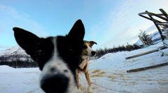 Norwegian Sled dogs friendly animal working pets resting Scandinavia Stock Footage
