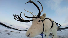 Close up White Reindeer harnessed tourist sledge landscape snow Norway Stock Footage