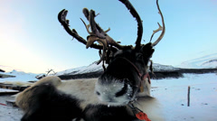 Close up Grey Reindeer resting Nordic winter snow extreme terrain Scandinavia - stock footage