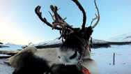 Stock Video Footage of Close up Grey Reindeer resting Nordic winter snow extreme terrain Scandinavia