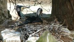 Male and female of Great Cormorants (Phalacrocorax carbo) building nest Stock Footage