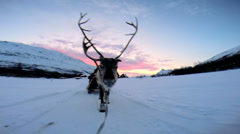 POV Handler with Norwegian Reindeer sunset sledge snow covered landscape Stock Footage