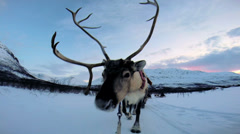 POV Close up Reindeer working tourists sunset snowy landscape Norway Stock Footage