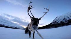 POV Grey Norwegian Reindeer sunset pulling sledge snow covered landscape - stock footage