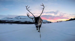 POV Norwegian Landscape Reindeer working tourists sunset snow landscape Norway - stock footage