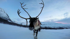 POV Norwegian Sledge Reindeer animal working pet snow covered Nordic sunset Stock Footage