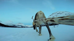POV Norwegian Landscape Reindeer pulling tourists sunset snow covered landscape Stock Footage