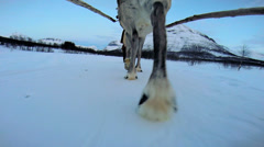 POV Norwegian Reindeer motion  sledge snow covered landscape Scandinavia - stock footage