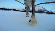 Stock Video Footage of POV Norwegian Reindeer motion  sledge snow covered landscape Scandinavia