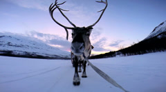 POV Handler sunset Norwegian Reindeer pulling sledge snow landscape - stock footage