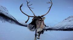 POV Norwegian Landscape Reindeer working pulling tourists sunset snow - stock footage