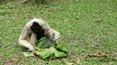 Gibbon searching for food Stock Footage
