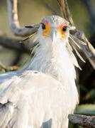 Secretary bird looks back large raptor animal wildlife Stock Photos