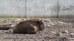 European bison (Bison bonasus), wisent Stock Footage