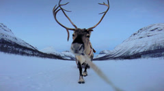 POV Norwegian Landscape Reindeer working pulling tourists sunset snow Stock Footage