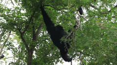 Gibbon climbing on a tree Stock Footage