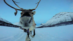 POV Handler sunset Norwegian Reindeer pulling sledge snow covered landscape Stock Footage
