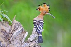 beautiful bird, eurasian hoopoe (upupa epops) possing on branch - stock photo