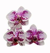 phalaenopsis hybrids - stock photo