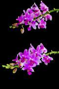 phalaenopsis hybird - stock photo
