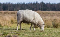 Sheep with a thick winter coat Stock Photos