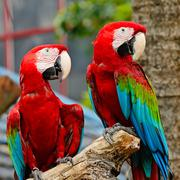 Greenwinged macaw Stock Photos