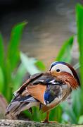 mandarin duck - stock photo